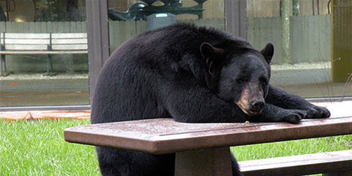 black bear and furniture