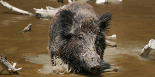 boars or boar?
