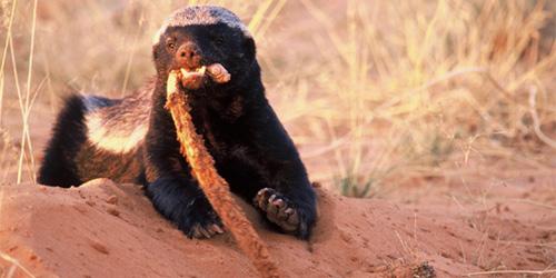 honey badger wrecking a snake