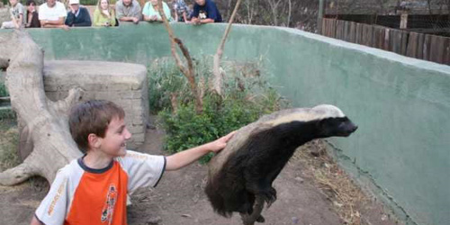 honey badger about to wreck a child