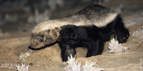 honey badger about to wreck YOUR HEART
