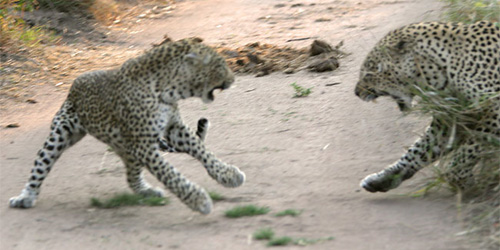 fighting leopards