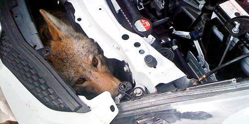 coyote wedged inside car