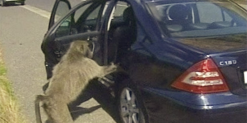 baboon busting into car