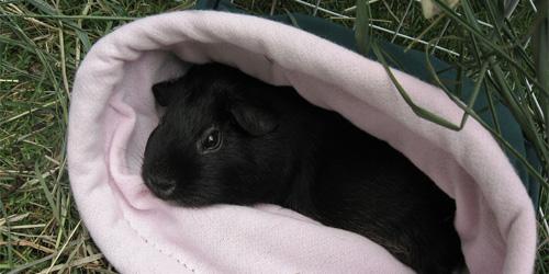 awesome black guinea pig