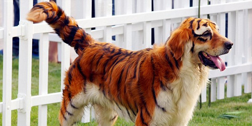 TIGER DOGS