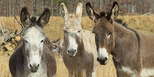 some donkeys, for whatever reason
