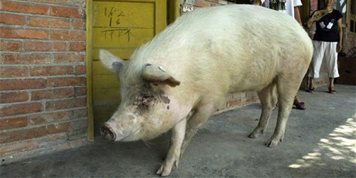 STRONG-WILLED PIG
