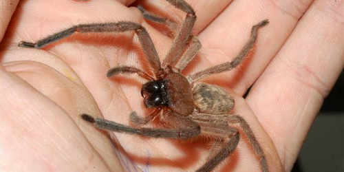 Huntsman... spider