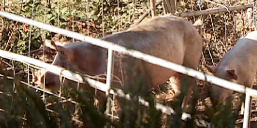 the deadly, elusive FARM PIG